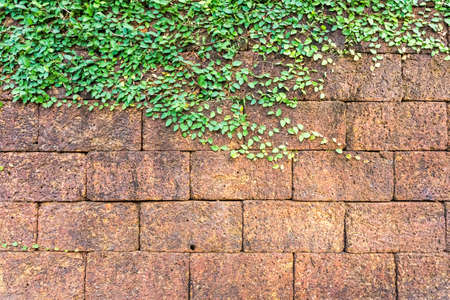 traditional climbing: laterite stone wall background with green ivy
