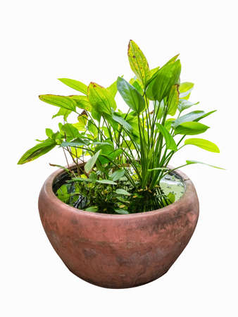 ornamental plant: hydroponic green plant in water tank , tropical ornamental plant Stock Photo