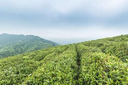 tree farming: green tea plantation against cloudy sky in lushan mountain , China