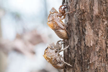 slough: two cicada slough holding in the tree, husk of cicada closeup