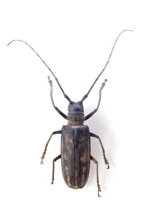 cerambycidae: batocera lineolata, the longicorn beetle isolated on white
