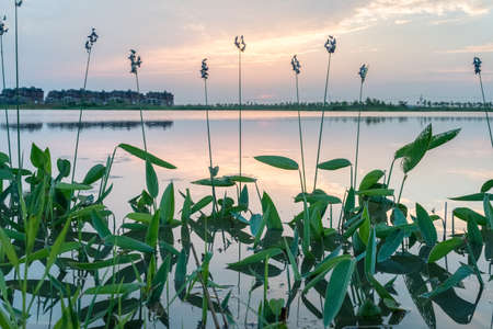 hardy: thalia dealbata in the lake at sunset, hardy canna, or powdery thalia, is an aquatic plant in the family marantaceae Stock Photo