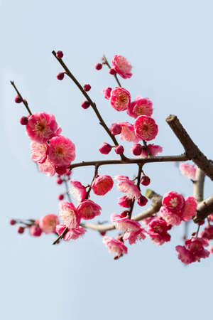 pink skies: red plum blossom branches on blue sky