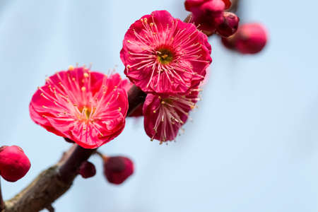 winter flower: closeup of the red plum blossom blooming Stock Photo