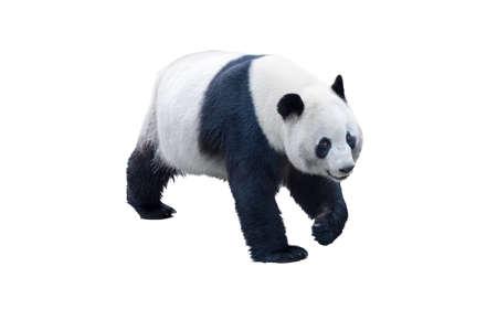クリッピング パスと白で隔離パンダ