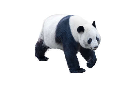 panda isolated on white with clipping path Banque d'images