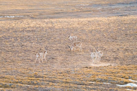 inhabits: the tibetan antelope inhabits open alpine and cold steppe environments, endemic to the tibet plateau