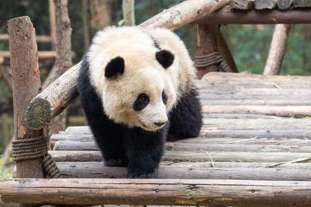 cute giant panda baby in breeding zoo