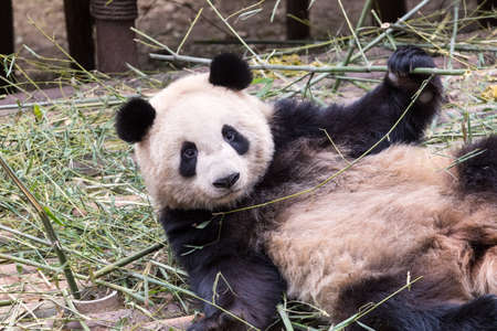 cloesup: cloesup of the cute giant panda in zoo, charmingly naive Stock Photo