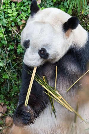 giant panda eating bamboo closeup in zoo