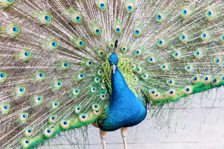 closeup of the proud as a peacock