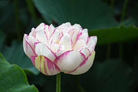 in full bloom: lotus flower in full bloom Stock Photo