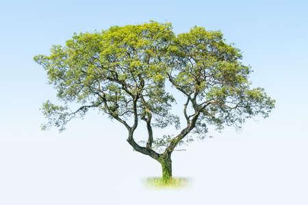 a big tree isolated on blue sky , acacia confusa Stock Photo