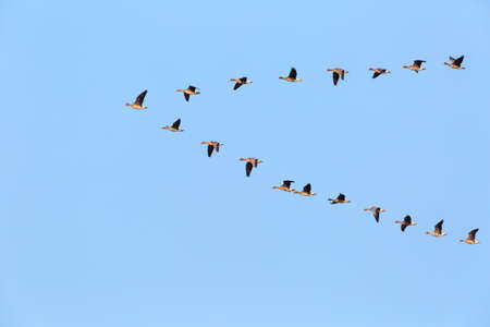 flock of wild geese flying in v-shape on blue sky