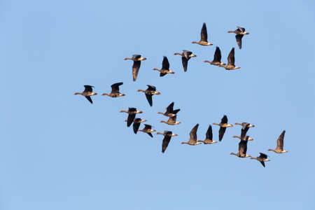 flock of wild geese flying in a blue sky