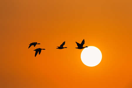 wild geese in sunset, migratory birds fly south, season changes concept