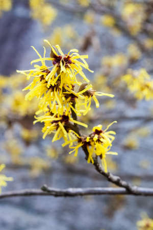 hamamelis or witch hazel flower in full bloom