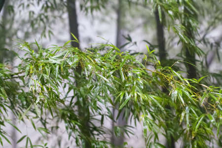bamboo in the fog, beautiful nature scene of wet leaves Stock Photo