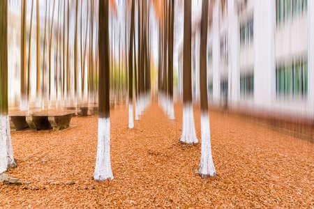 metasequoia woods in winter scenery