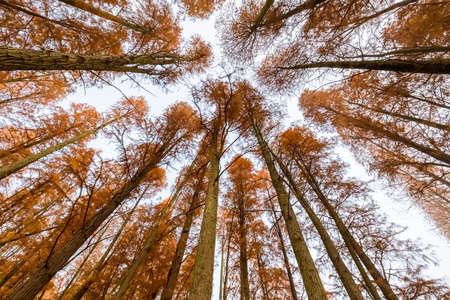 metasequoia woods in autumn, upward view