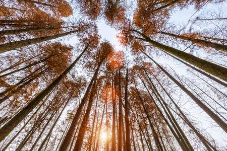 upward view of metasequoia woods in autumn