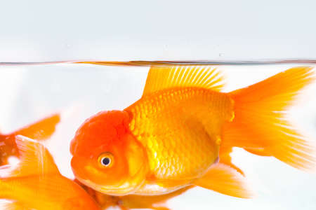 goldfish closeup in aquarium on underwater with a white background