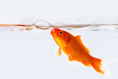 goldfish isolated with air bubble in glass fish tank on white background