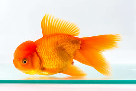 goldfish isolated in glass fish tank on white background