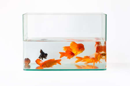 goldfish in glass fish tank isolated on white Stock Photo