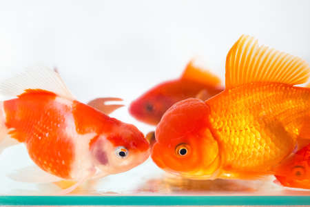 goldfish closeup in glass fish tank on white background