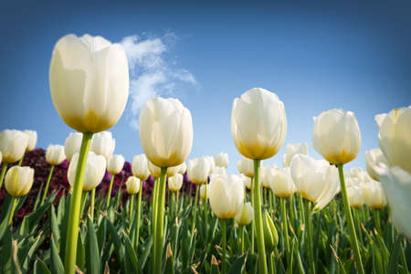 white tulips blooming, a radiant and enchanting spring scene Stock Photo