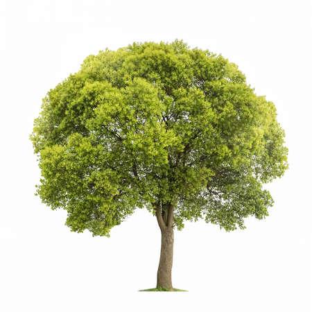 白い背景に隔離された木、緑のクスノキの木 写真素材