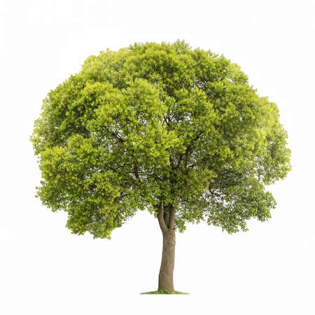 tree isolated on white background, green camphor tree