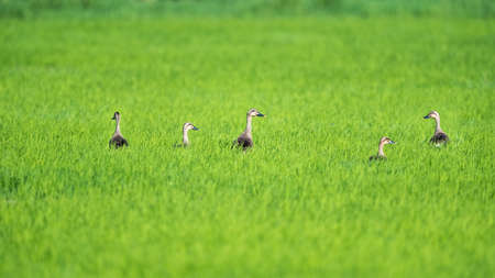 Indian spot-billed ducks in the rice field