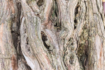 old tree texture background, ancient sandalwood trunk closeup