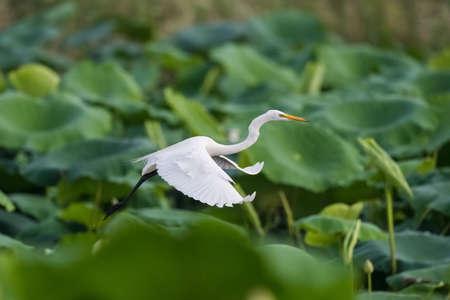 intermediate egret or yellow-billed egret flying over the lotus pond 版權商用圖片