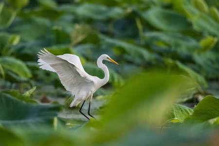 intermediate egret flapping its wings on lotus pond 版權商用圖片