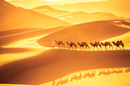 Equipo de camellos marchan sobre las dunas de arena, paisaje desértico dorado al atardecer