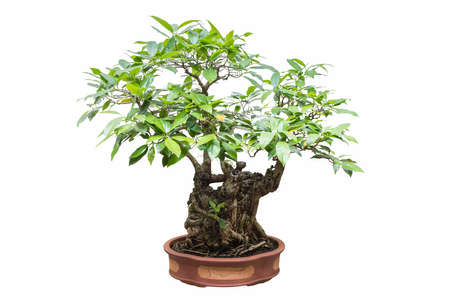 banyan bonsai isolated on a white background