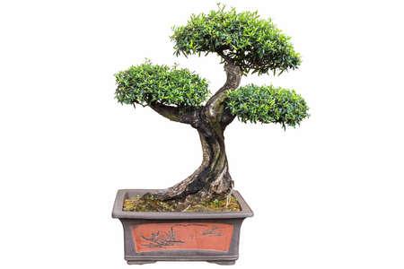 old bonsai tree isolated on white background, olea europaea Imagens