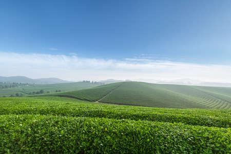 Tea plantation in a spring morning Standard-Bild