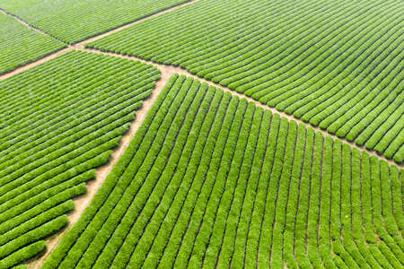 Tea plantations  in spring