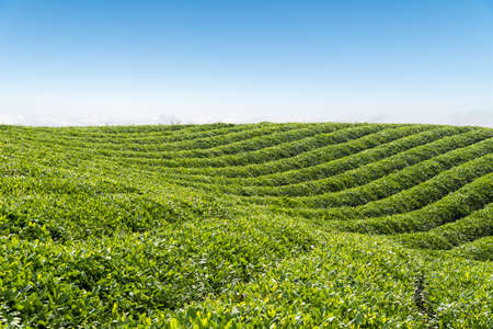 beautiful tea plantation landscape on on the top of hill Stock Photo