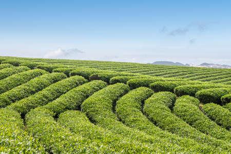 high mountain tea plantation in spring sunny Standard-Bild