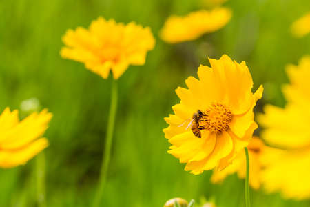 the bee closeup on the blooming yellow flower,  coreopsis lanceolata