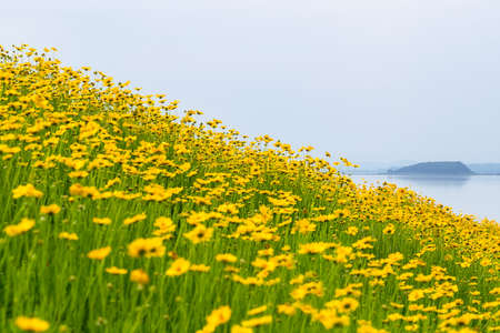 yellow coreopsis flowers bloom in the early summer by lakeside