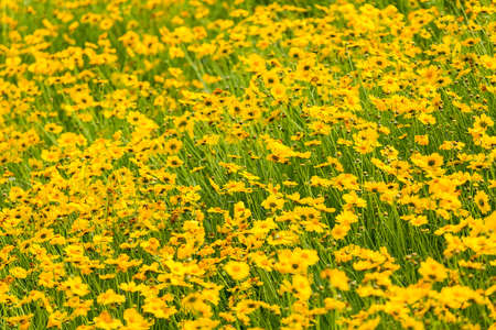 yellow coreopsis flower blooming in early summer