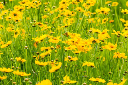 yellow coreopsis flower blooming closeup in the early summer Stock Photo