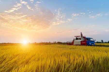 Harvester in autumn rice paddy at dusk Reklamní fotografie