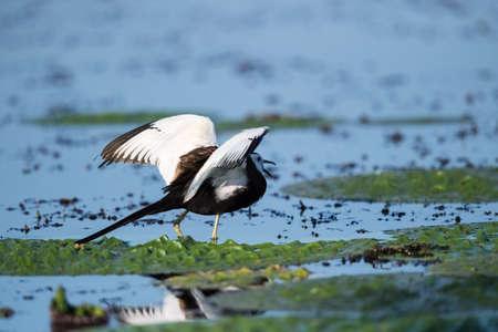Pheasant-tailed jacana (Hydrophasianus chirurgus)  in wetland